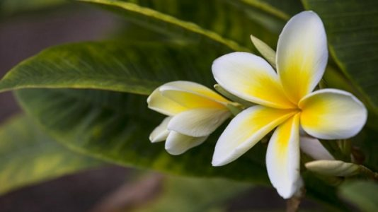 Hawaiian Flower | Teplis Travel