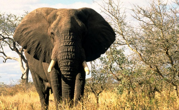 Elephant in South Africa | Teplis Travel